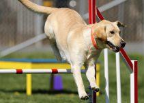 Labrador som hoppar över hinder